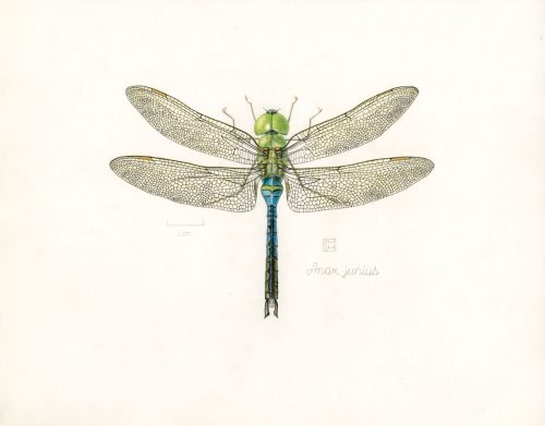 Shiere Melin, 2016, dragonfly illustration, Common Green Darner