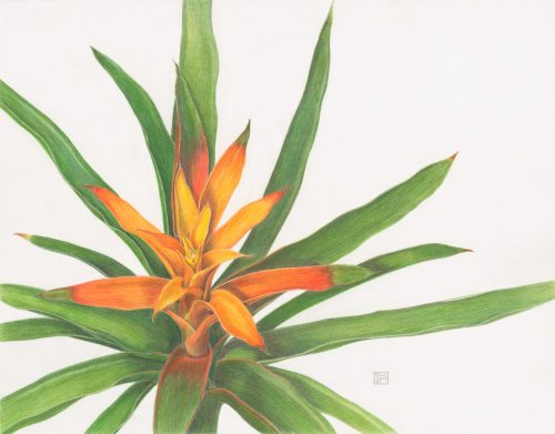 Shiere Melin, 2017, Bromeliad illustration, colored pencil illustration