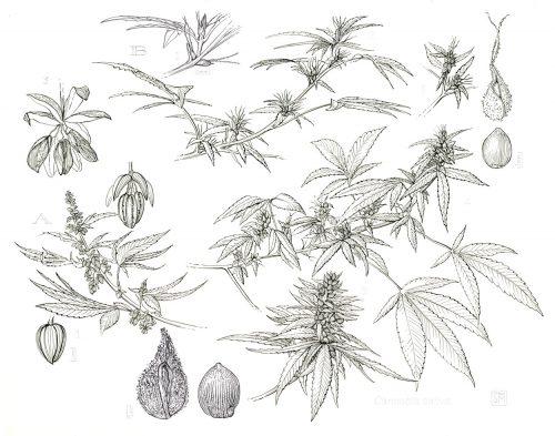 Shiere Melin, 2017, Cannabis, marijuana, male and female cannabis plant