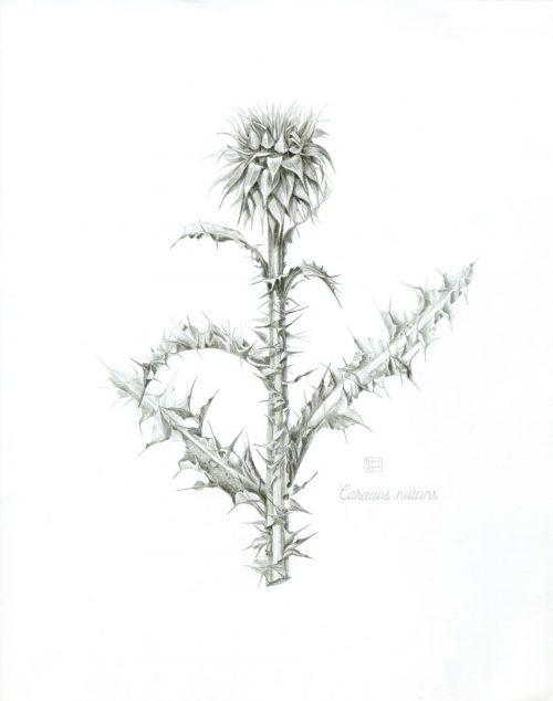 Shiere Melin, 2015, graphite, botanic illustration
