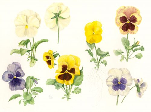 Shiere Melin, 2016, watercolor, purple pansies