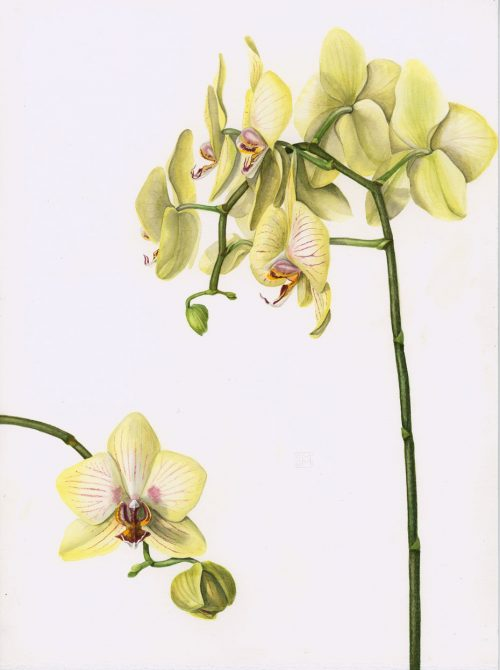 "Phalaenopsis | Orchid, 11"" x 14.7"", watercolor, Fabriano Artistico"