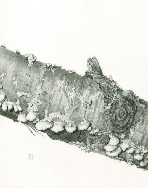 """Populus tremuloides with fungi - 11"""" x 14"""", graphite illustration, Northern Wisconsin"""